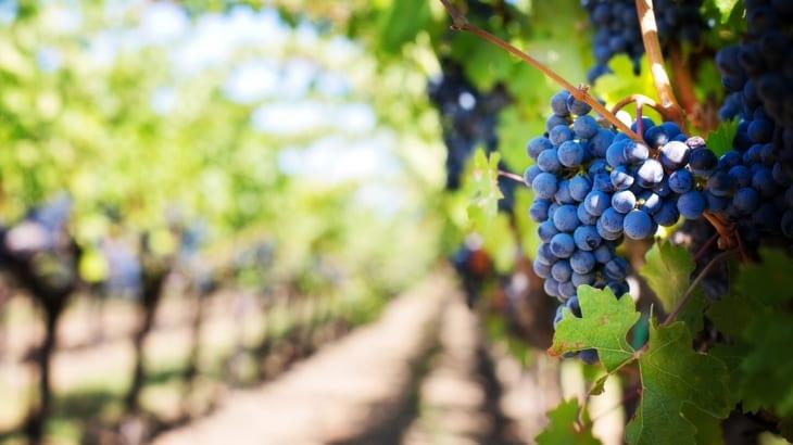 ブドウの収穫時期