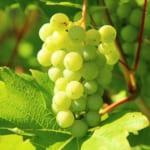 スペインの人気の白ブドウ品種ヴェルデホ