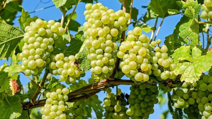 ピエモンテの白ブドウ品種コルテーゼとは