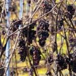 イタリア全土で造られる極甘口ワインのパッシートとは
